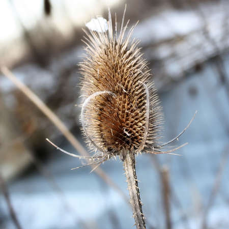 a burr weed with snow on it in the winter