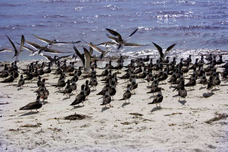 a large flock of birds hang out on the gulf coast shore in Cedar Key, Florida Stock Photo