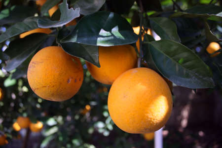 a close up shot of part of an orange tree in an orange grove Stock Photo