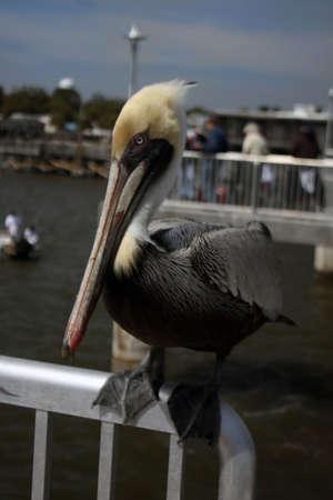 Pelican hangs out aside the Atlantic Ocean in Florida