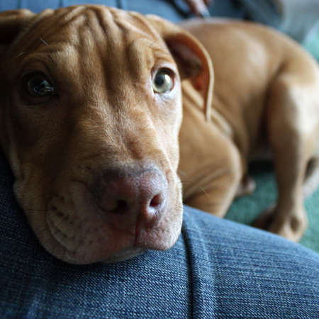 a pit bull puppy Stock Photo