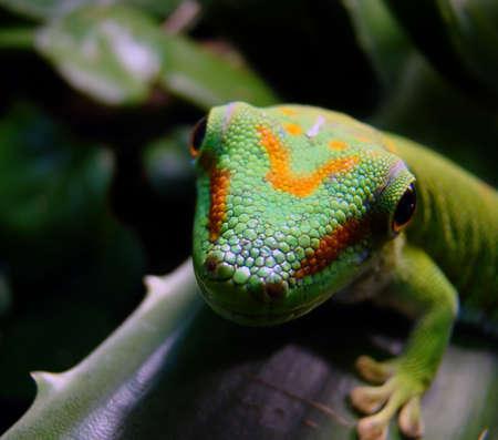 madagascar giant day gecko                                 photo