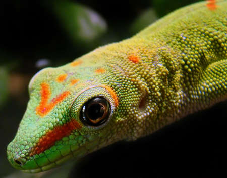 madagascar giant day gecko                          Stock Photo - 6238397