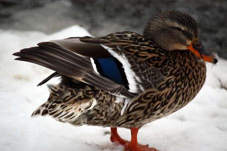 female mallard duck photo