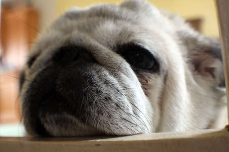 wrinkely: pugs face