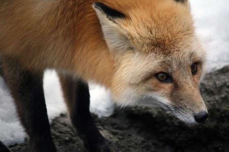 volpe rossa nella neve