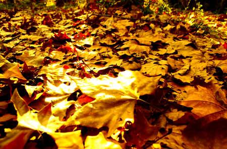 hojas secas: Las hojas secas en el suelo en el otoño