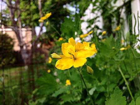 yellow: Celandine yellow flowers.