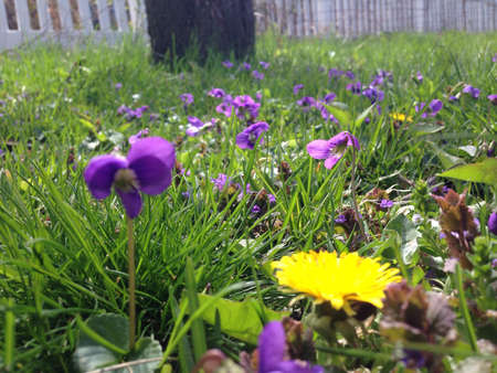 fence: Violets and dandelion in grass.