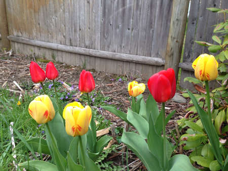fence: Spring tulips.
