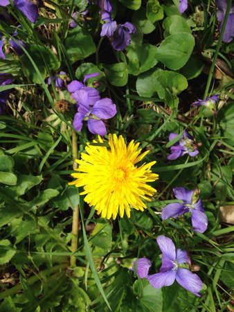 Violets and dandelion in grass.