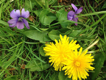 Violets and dandelions in grass.