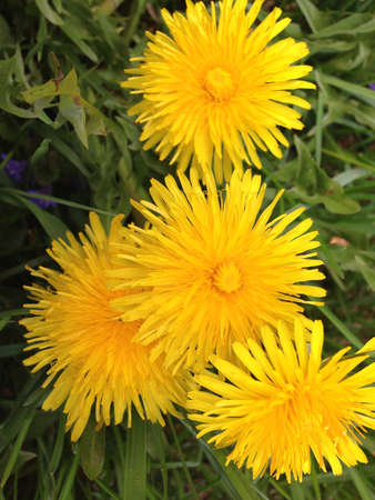 Dandelions in grass.