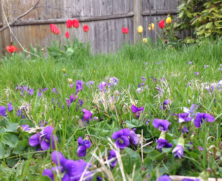 fence: Violets and tulips.