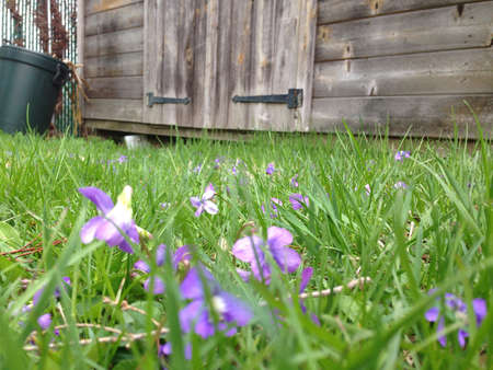 Violets by shed.