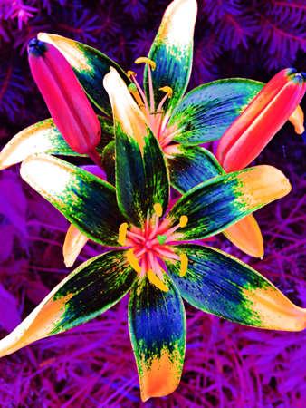 colour: Lilies.