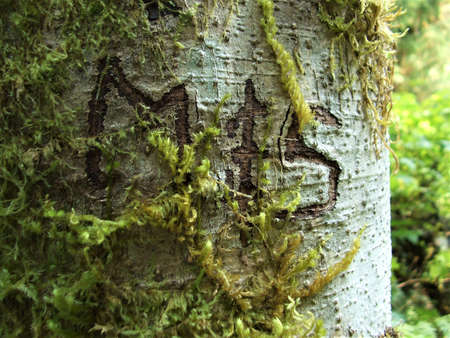 Initials M & S carved into the bark of an alder tree on the Sauk Falls trail in Darrington, WA