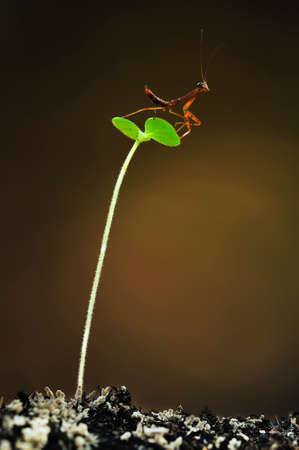 mantis: Mantis Larva