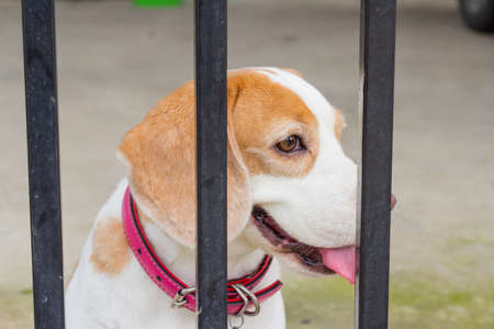 fidelity: Spotted Beagle dog looking through gate bars. Sad dog waiting for owners return.