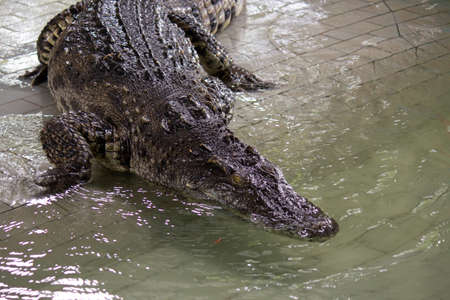 Crocodile in the water, In Pattaya Crocodile Farm and Zoo, Thailand.