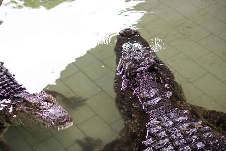 Crocodile in the water, In Pattaya Crocodile Farm and Zoo, Thailand. Reklamní fotografie - 110705901