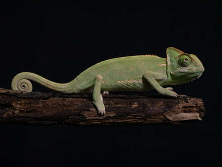 Green chameleon on wood, animal closeup.