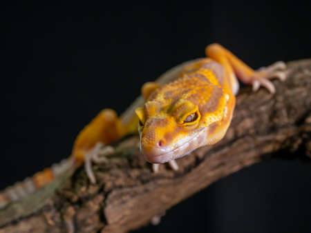 Orange gecko lizard on wood, animal closeup. Stock fotó