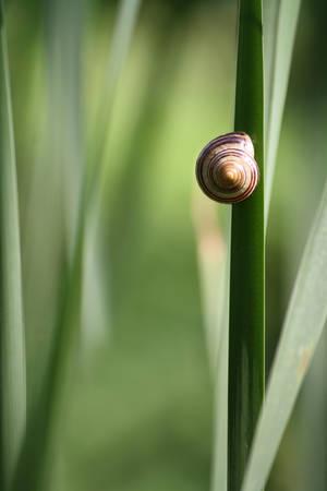 bullrush: Climbing Snail on bullrush