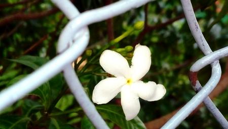 Crape jasmine in boundary of net. 版權商用圖片
