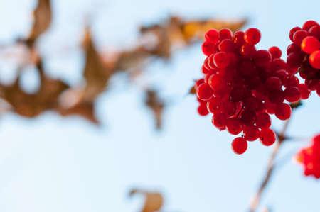 guelderrose: Guelder-rose clusters
