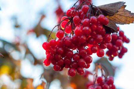 guelder rose berry: Guelder-rose clusters