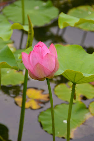 Lotus flower bud photo