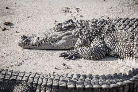 A large crocodile is resting on bank at farm, scary tone. Stock Photo