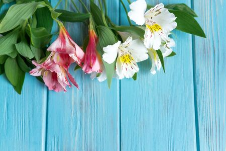 White and pink flowers of Alstroemeria on a blue wooden background. Dizan greeting card, banner with flowers. frame for text with flowers and copispeys