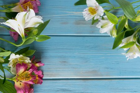 White and pink flowers of Alstroemeria on a blue wooden background.