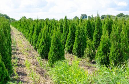 Plant nursery. Coniferous trees on the beds that are grown for sale and decoration of lawns