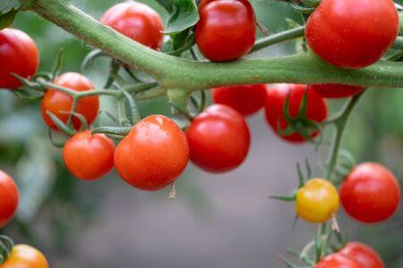 Closeup ripe tomato fruits on a bush. Growing tomatoes Фото со стока