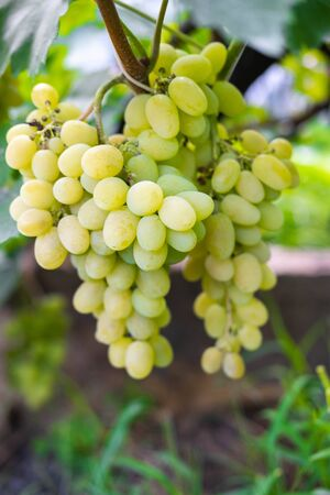 A bunch of green ripe grapes on a bush. Ready to harvest grapes close-up.