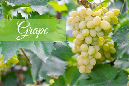 Closeup seedless green grape on a branch with a place for inscription. Harvesting wineyard.