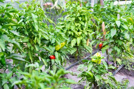 Several bushes with ripe sweet pepper in the garden. Growing sweet pepper in the garden