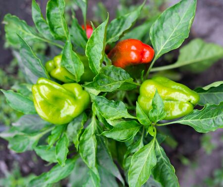 Close-up bush with ripe sweet peppers. Growing sweet pepper in the garden. Фото со стока