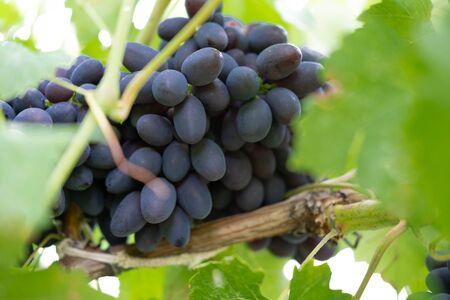 Blue ripe grapes close-up. Grapes bush with ripe berries. grown on the farm 免版税图像