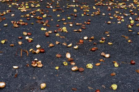 Fallen chestnuts on the asphalt in the fall. Autumn in the park. Collecting chestnuts. Фото со стока