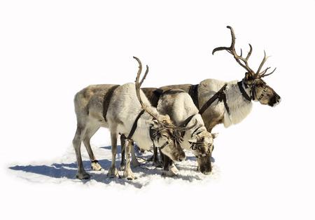 Reindeer sleigh in winter on the snow.