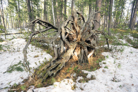 the taiga: Fallen tree in the Siberian taiga.