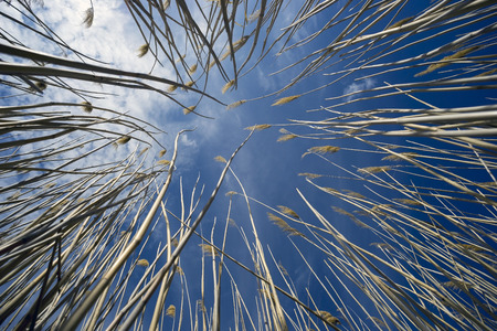 Dry reeds on blue sky background Фото со стока