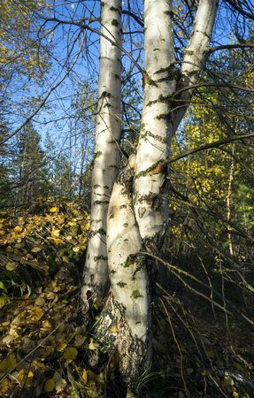 fused: Golden autumn in the birch grove on a clear day.