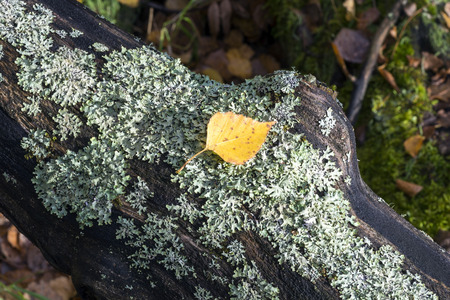 birch leaf: Yellow birch leaf is on the tree covered with moss. Stock Photo