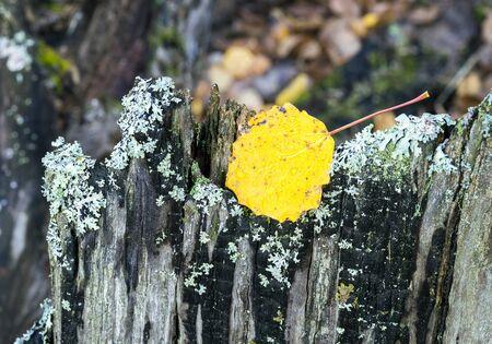 aspen leaf: Yellow aspen leaf on an old tree stump. Stock Photo