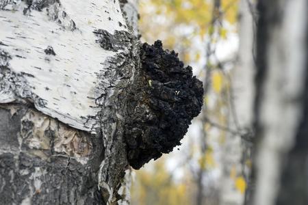 disperse: A growth on the birch - medicinal mushroom chaga. Stock Photo